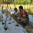 Koptu Ali Imron, Babinsa Ramil 23/Lgst Bantu Petani Merawat Tanaman Kacang Panjang